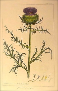 Woolly headed thistle