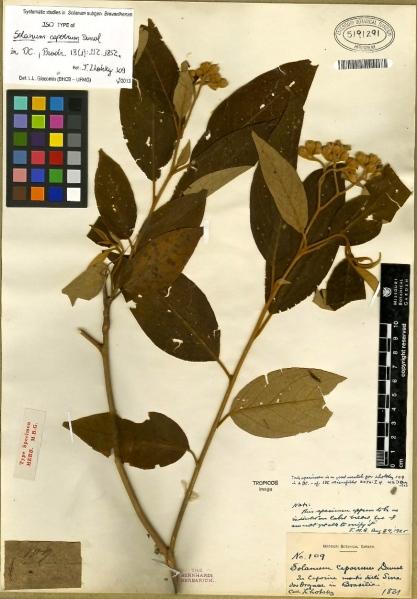 Lhotsky Brazilian specimen-Solanum capoerum Dunal